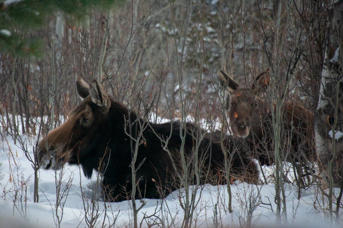 Two moose